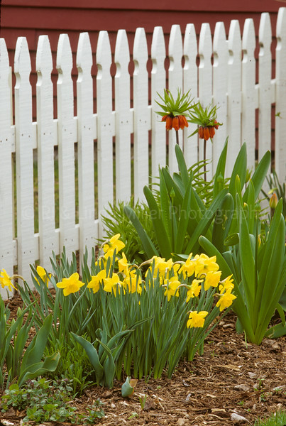 Bailey's Harbor, Tulips in front of White Picket Fence