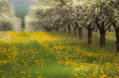 43353 Door County Apple Orchard in Blossom
