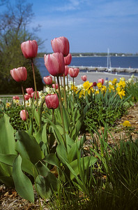 RJLM_WI  43347  Door County, Tulips