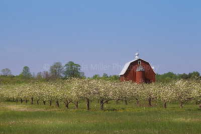 43368 Door County Apple Orchard in Blossom and Red Barn