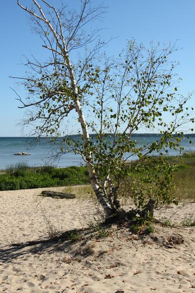 Birch tree on the beach