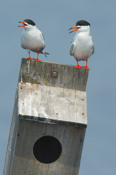 Forster's Terns