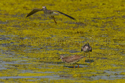 Squabbling Lesser Yellowlegs