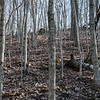 Beginning of a maple succession in the upland woods above Twin Pines.