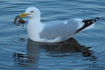 Herring Gull with Crawfish