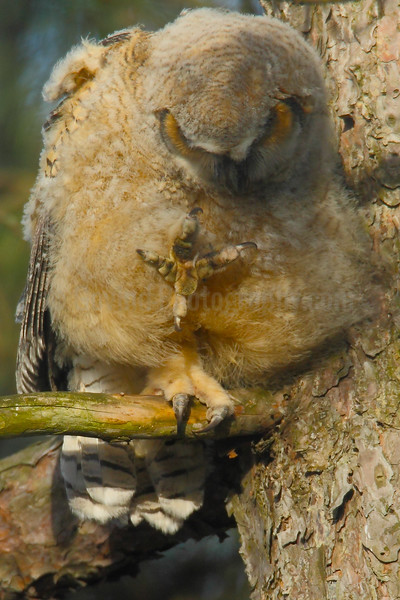 Great-horned Owl Chick Owl