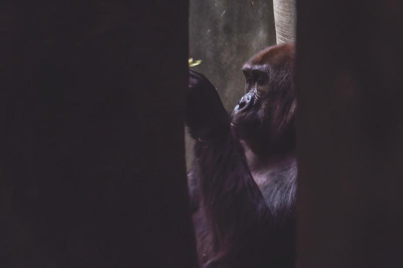 Gorilla at Milwaukee County Zoo in Milwaukee Wisconsin