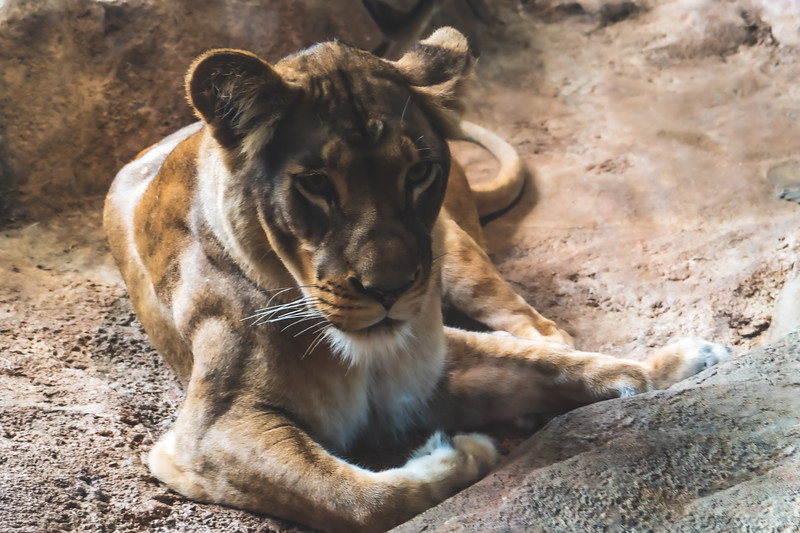Lioness at Milwaukee County Zoo in Milwaukee Wisconsin