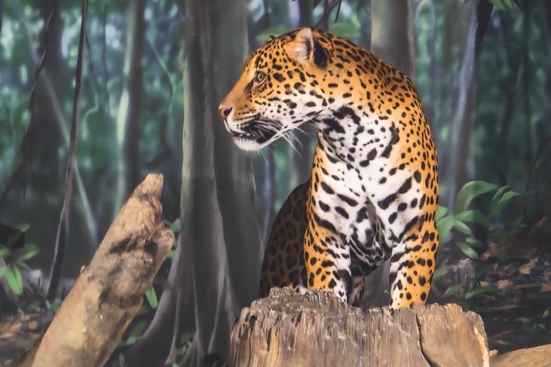 Leopard at Milwaukee County Zoo in Milwaukee Wisconsin