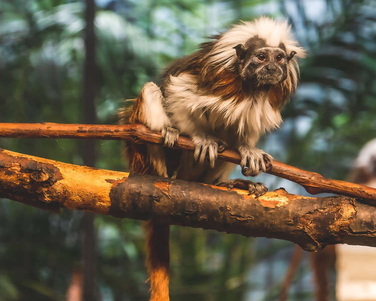 Tamarin Monkey at Milwaukee County Zoo in Milwaukee Wisconsin