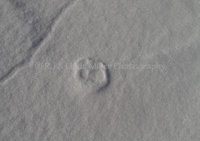 Fox Tracks on Snow Drift, Frozen Lake Superior, Bayfield County, Wisconsin