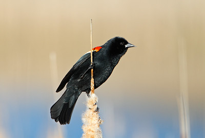 Black and Blue...and Red - Redwing Blackbird