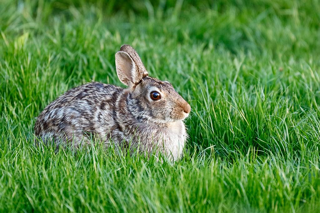 Watchful Eye - Rabbit (Wisconsin)