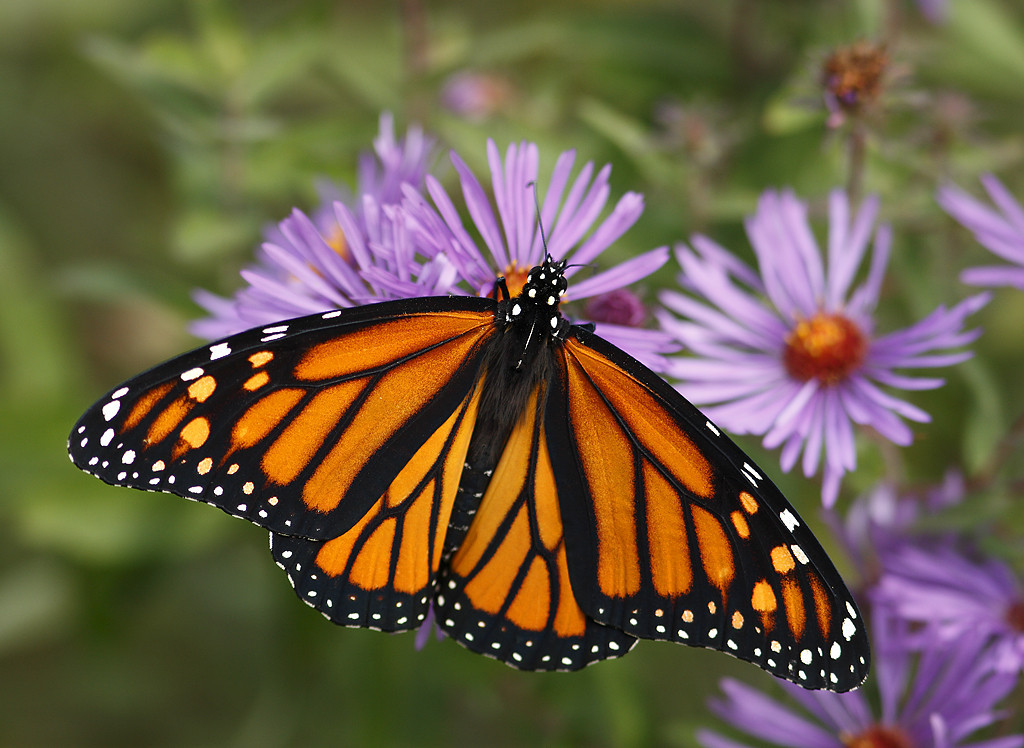 Monarch Butterfly - Wisconsin