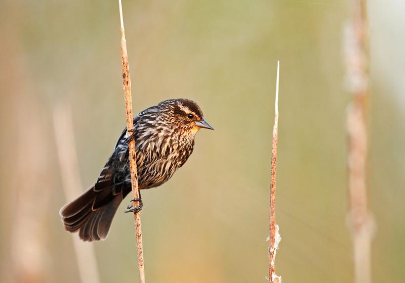 Spring Stare - Redwing Blackbird