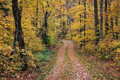 Infinite Yellows - Random Road, Hwy 17 (Chequamegon-Nicolet National Forest - Wisconsin)