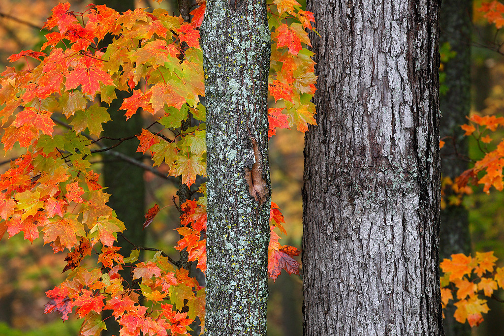 Maple Marvel -  Maples Trees (Kettle Moraine State Forest - Northern Unit)
