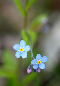A Close Look - Forget Me Knots (Peninsula State Park - Door County)