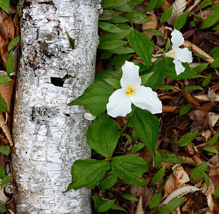 Dos Growth - Trillium & Birch (Newport State Park - Door County)