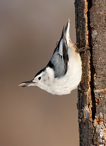 White Breasted Nuthatch (High Cliff State Park - Wisconsin)