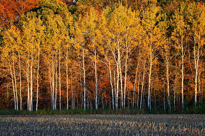 Balding Birches (Kettle Moraine State Forest - Northern Unit)