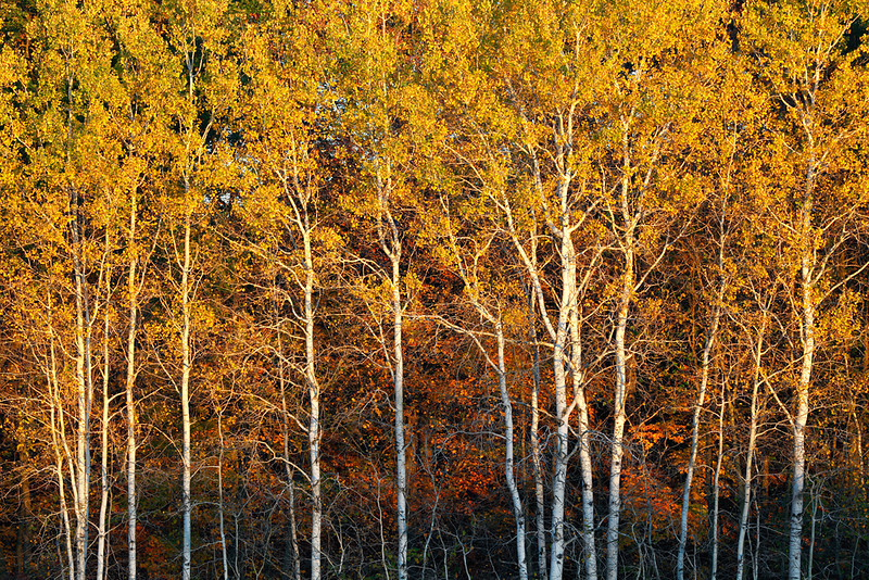 Balding Birches II (Kettle Moraine State Forest - Northern Unit)