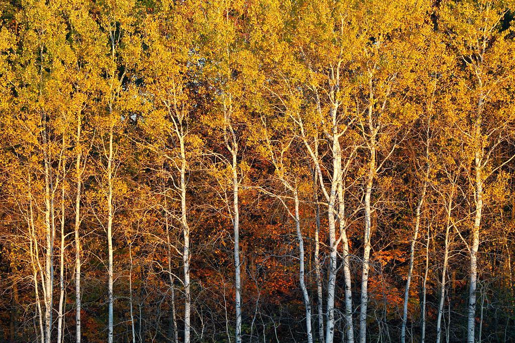 Balding Birches II (Kettle Moraine State Forest - Northern Unit)