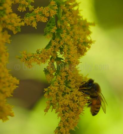 Honey-bee Collecting Pollen
