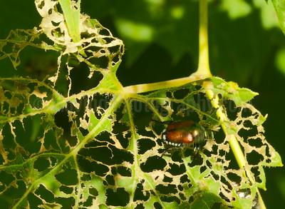 Japanese Beetle at Work