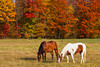 Horses grazing in the pasture with fall foliage color in the forests near Minocqua, Wisconsin, USA.