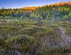 WI 119     Sunset light on a stand of birch trees bordering a peat bog in Oneida County, Wisconsin, slideshow