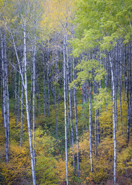 WI 154<br /> <br /> A roadside grove of deciduous birch trees shows off its autumn colors in the Northwoods of northern Wisconsin.