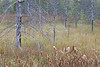 WI 147     Dead eastern larch trees add their bones to a tamarack bog in northern Wisconsin.