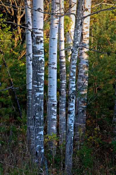 WI 058                              Birch trees at Peninsula State Park in Door County, Wisconsin.