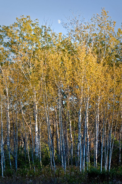 WI 053                           A stand of birch trees lines a roadside at Peninsula State Park in Door County, Wisconsin.