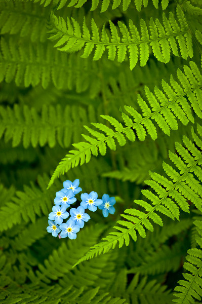 WI 017                             Spring ferns and forget-me-not flowers at Peninsula State Park in Door County, Wisconsin.