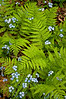 WI 019                              Spring ferns and forget-me-not flowers at Peninsula State Park in Door County, Wisconsin.
