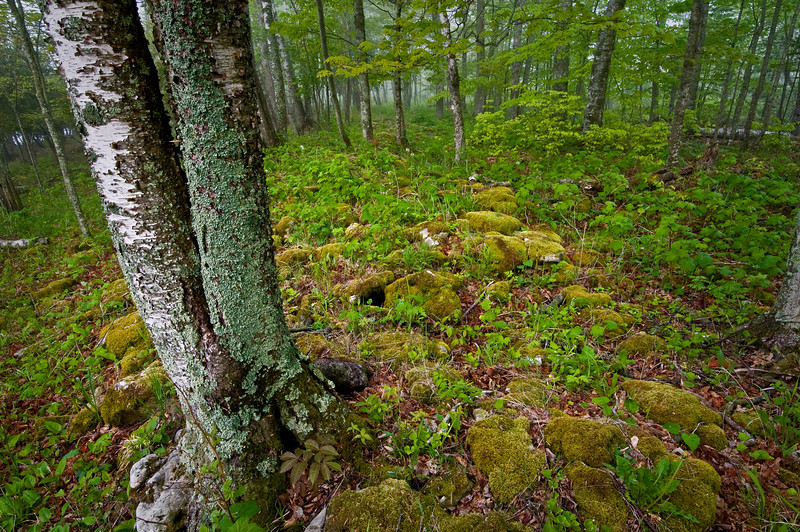 WI 003                             Birch trees grow among moss covered rocks at Cave Point County Park in Door County, Wisconsin,