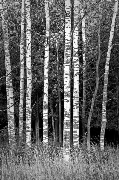 WI 055                          A stand of birch trees lines a roadside at Peninsula State Park in Door County, Wisconsin.