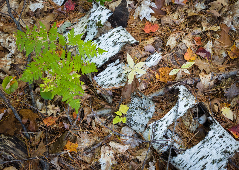 WI 186<br /> <br /> Birch bark decaying on the forest floor.  Northern Highlands-American Legion State Park, Oneida County, Wisconsin.