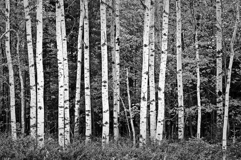 WI 057                            A stand of birch trees lines a roadside at Peninsula State Park in Door County, Wisconsin.