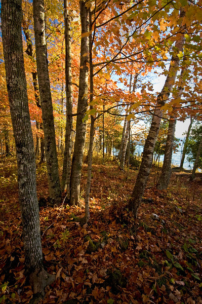 WI 037                               Morning light filters through autumn leaves at at Cave Point County Park in Door County, Wisconsin.