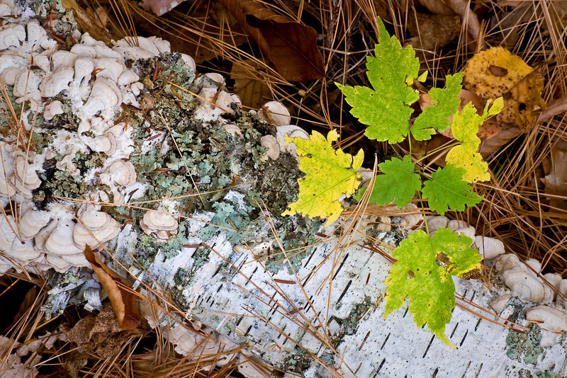 WI 063                               A maple sapling sprouts next to a fall birch log at Newport State Park in Door County, Wisconsin,