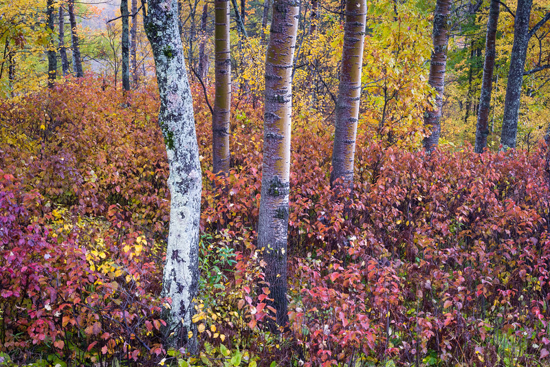 WI 160<br /> <br /> Copper-toned birch trunks punctuate the autumn color of the Northwoods in northern Wisconsin.