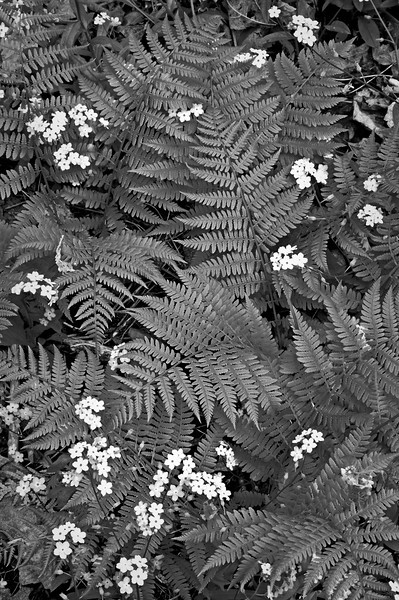 WI 020                                 Spring ferns and forget-me-not flowers at Peninsula State Park in Door County, Wisconsin.