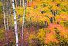 WI 155<br /> <br /> A maple tree in brilliant autumn color stands out against a grove of birch trees in the Northwoods of northern Wisconsin,