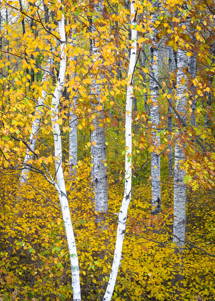 WI 207<br /> <br /> Autumn colors in the Norther Highland-American Legion State Forest in Oneida County, Wisconsin.