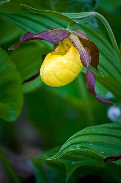 WI 025                             Lady slippers grow beside the road into Door Bluff Headlands County Park in Door County, Wisconsin.