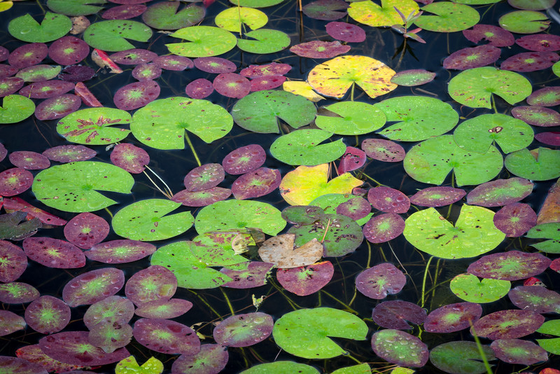 WI 172<br /> <br /> Lily pads begin to decay and change color on the shoreline of a small north woods lake in northern Wisconsin.