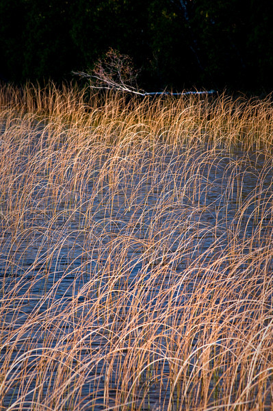 WI 044                            Warm morning light bounces off reeds growing along the shore of Kangaroo Lake in Door County, Wisconsin.